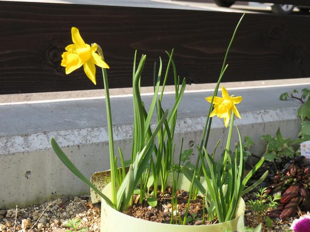 ミニ水仙の花の画像