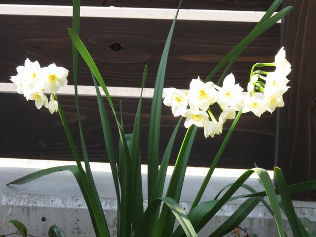 朝日に輝く日本水仙の花の画像