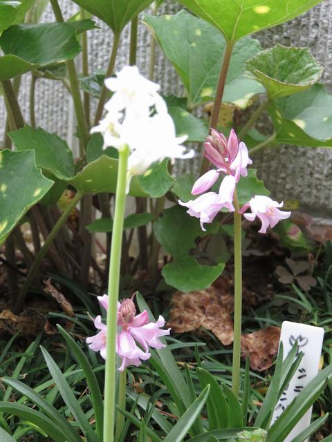 白とピンクのシラーカンパニュラータの花