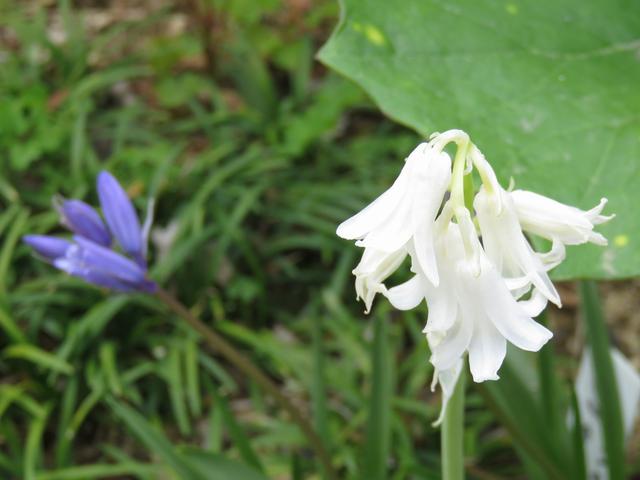白とブルーのシラーカンパニュラータの花