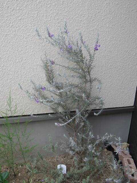 三分咲きのエレモフィラニベアの画像