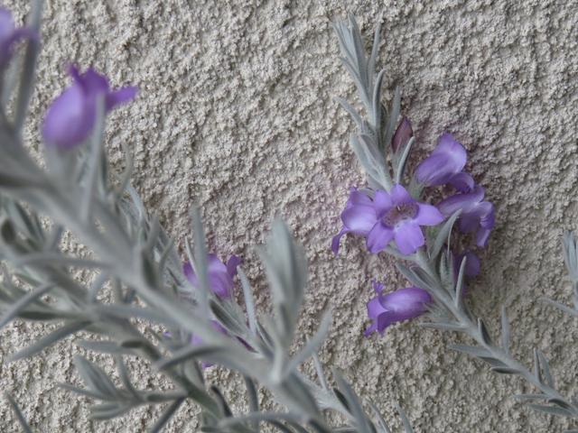 エレモフィラニベアの花のアップ