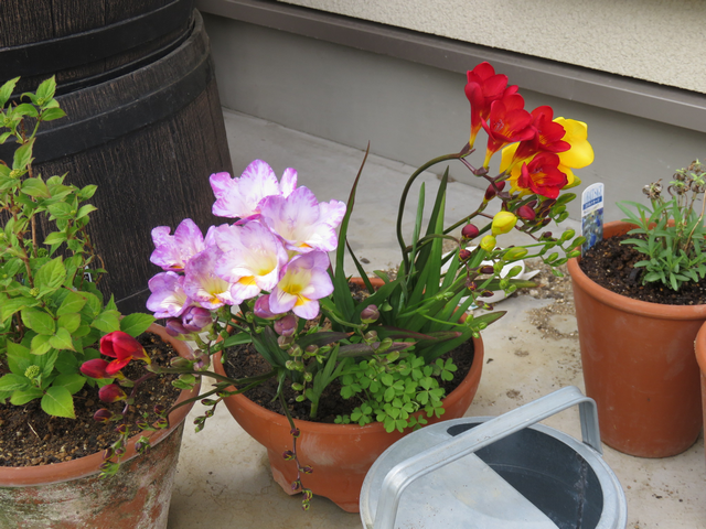 フリージアの花の画像