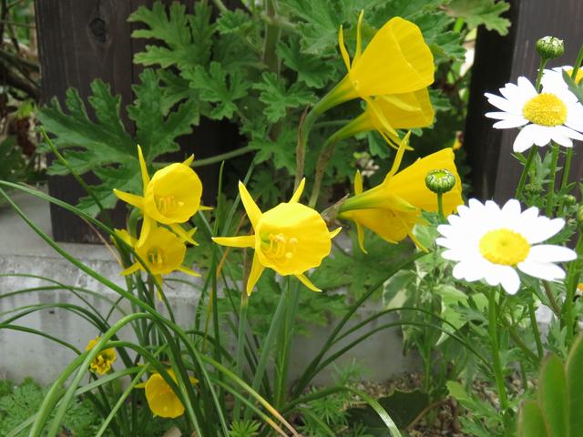 水仙 バルボコジューム バルボコディウムの花
