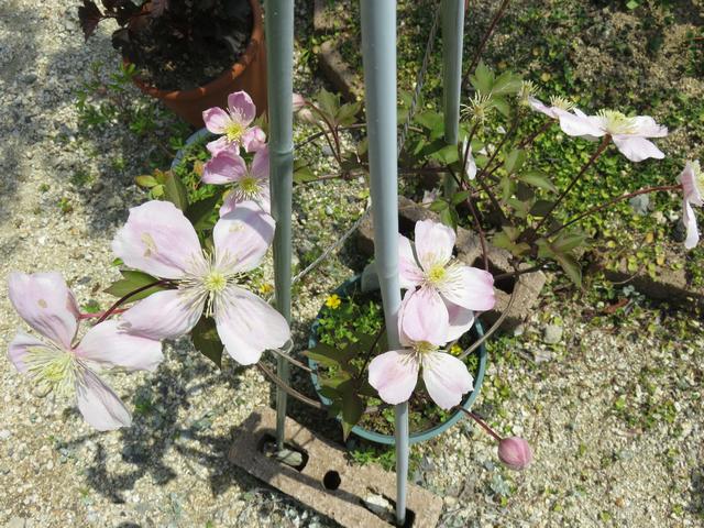 クレマチス 'ジャイアントスター'の満開の花の画像