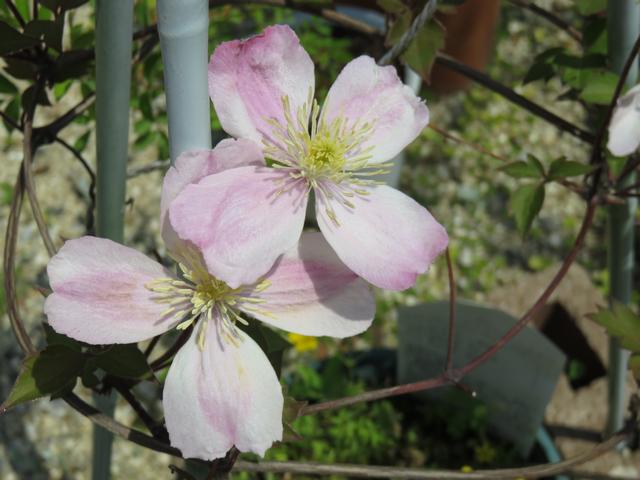クレマチス 'ジャイアントスター'の花のアップ