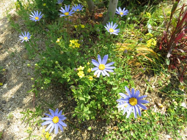 ブルーデージーの花の画像