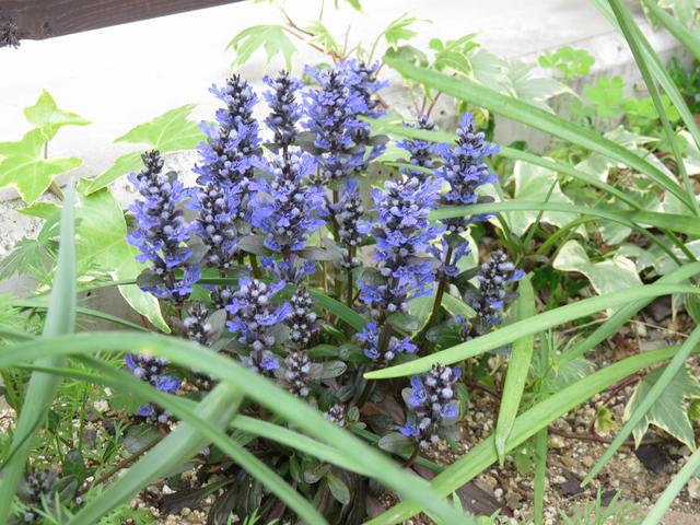 アジュガ 'チョコレートチップ'の花の画像