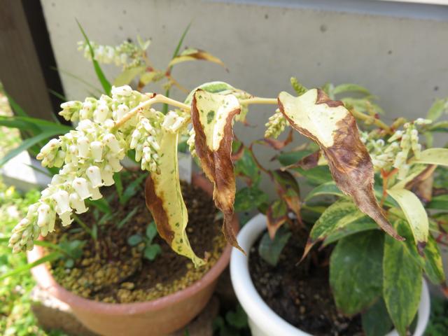 アメリカイワナンテン 'レインボー'の花と傷んだ葉っぱ