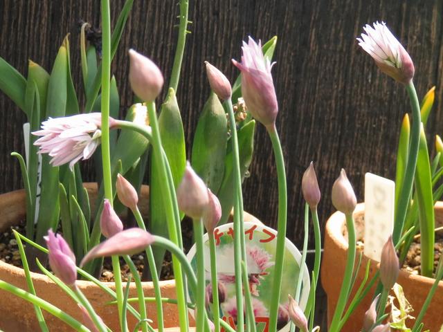 チャイブの花の画像
