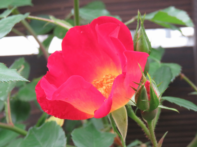 カクテルの花のアップ