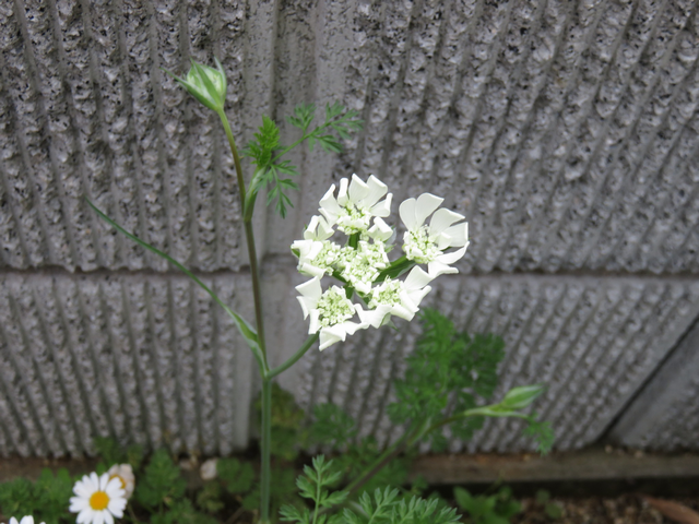 オルレアの開花の様子