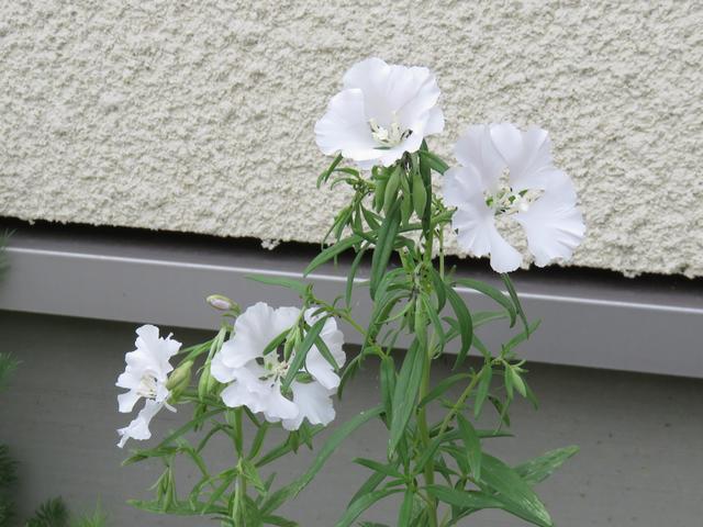 クラーキア・プルケラの白花の画像