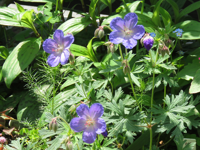 ゲラニウム'ジョンソンズブルー'の花の画像