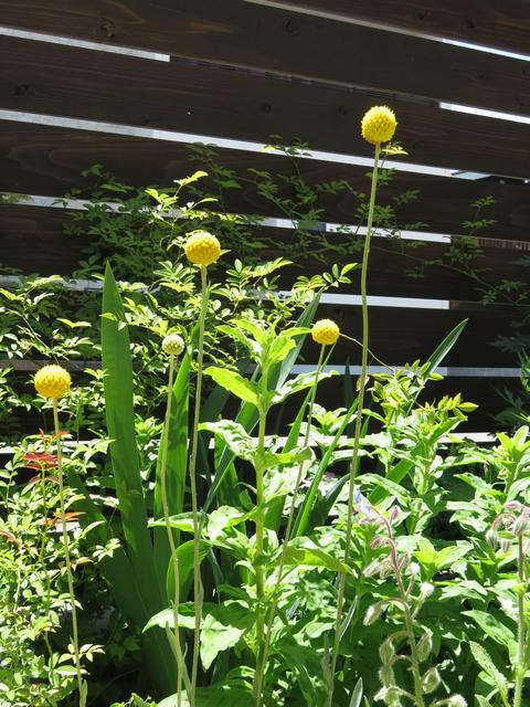 クラスペディア グロボーサの花