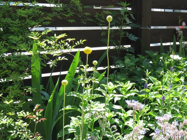 クラスペディア グロボーサと周囲の草花