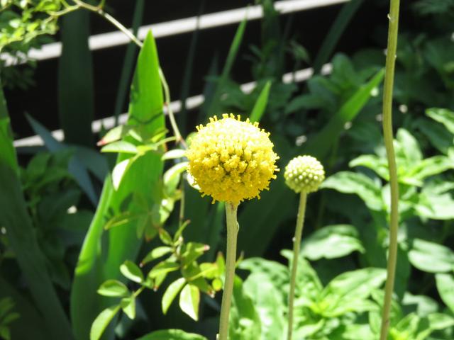 クラスペディア グロボーサの若い花のアップ