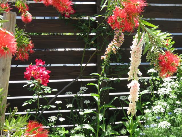 庭の風景 ブラシの木(キンポウジュ)の花 カクテル ジギタリス