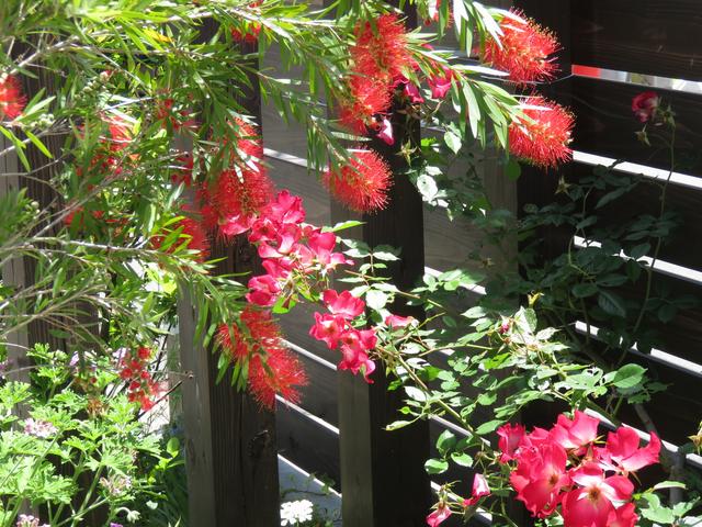 ブラシの木(キンポウジュ)の花とバラのカクテルのツーショット