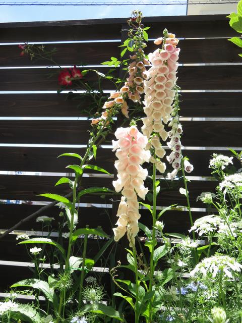 ジギタリスの花3種類