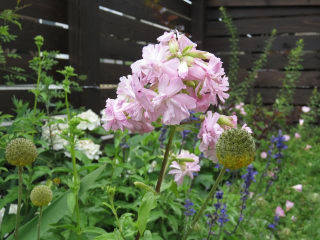 ソープワートの花の画像