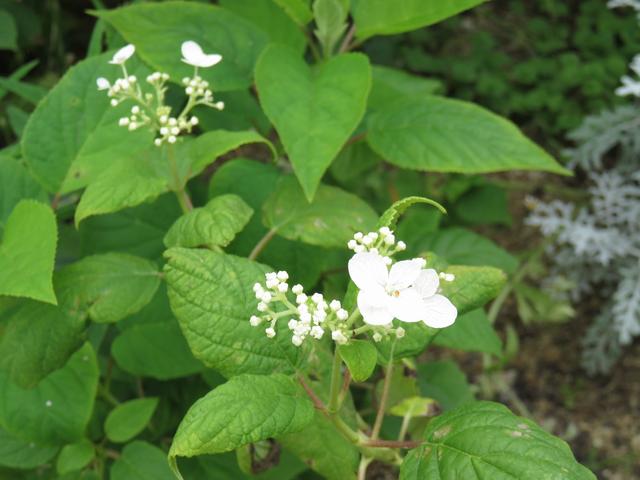 アナベルの小さな花の画像