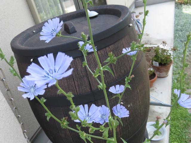 チコリの青い花の画像