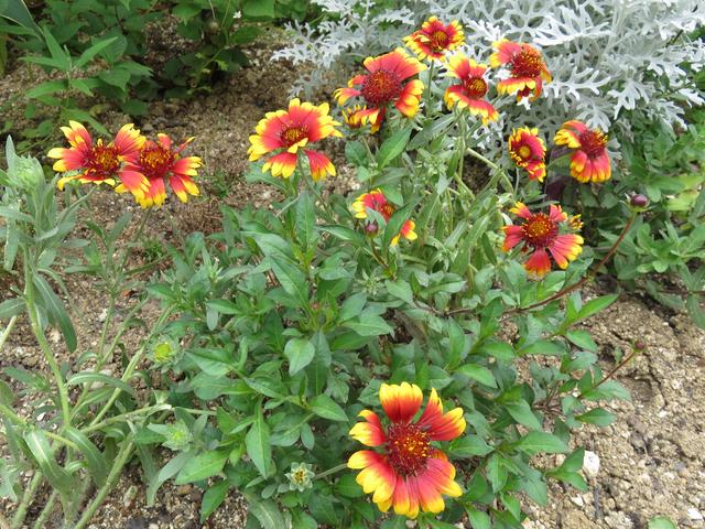 ガイラルディアの花の画像