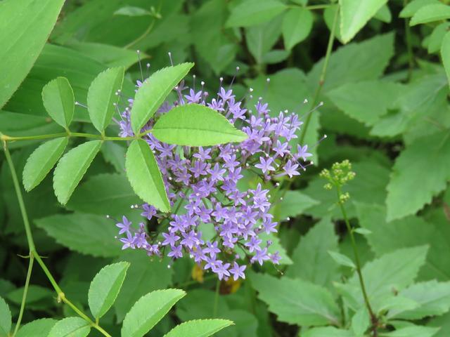 ユウギリソウの花の画像