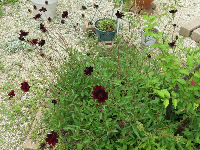 チョコレートコスモスの花の画像