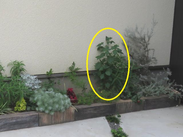 駐車場花壇に生えた雑草の画像