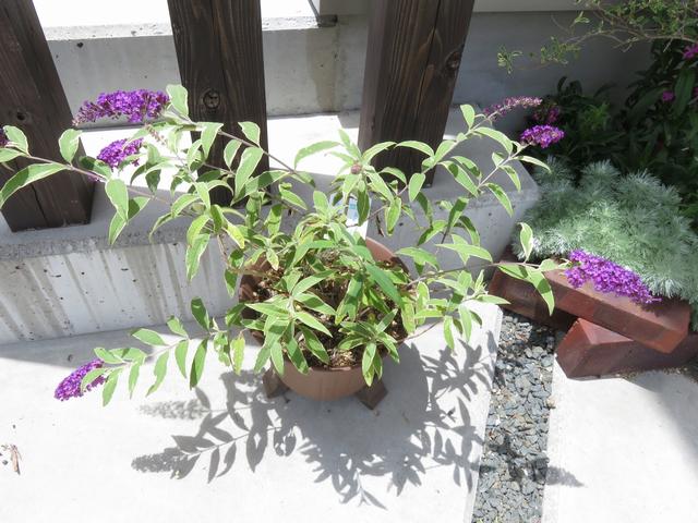 ブッドレアの鉢植えの画像