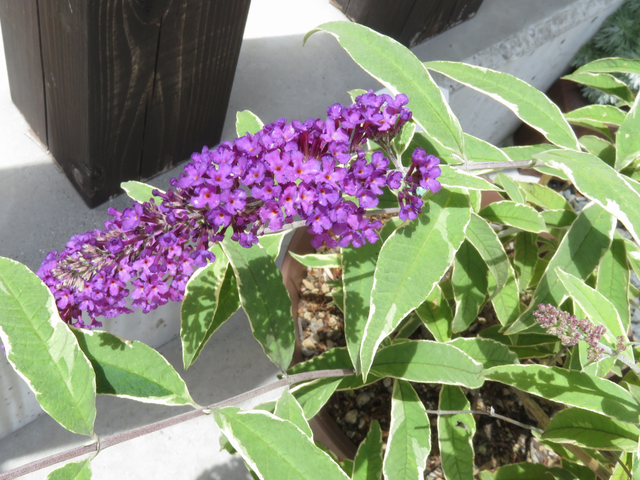 ブッドレアの花のアップ