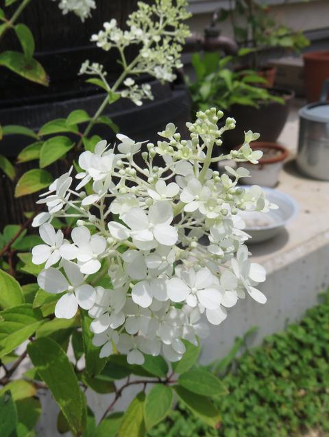 ノリウツギリトルライムの花