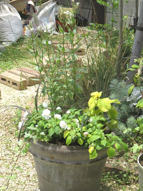 2018年夏の寄せ植えの画像 ベロニカ・シャーロッテ、インパチェンス・シルエット・アップルブロッサム、黒龍