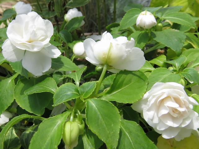 インパチェンス・シルエット・アップルブロッサムの花のアップ