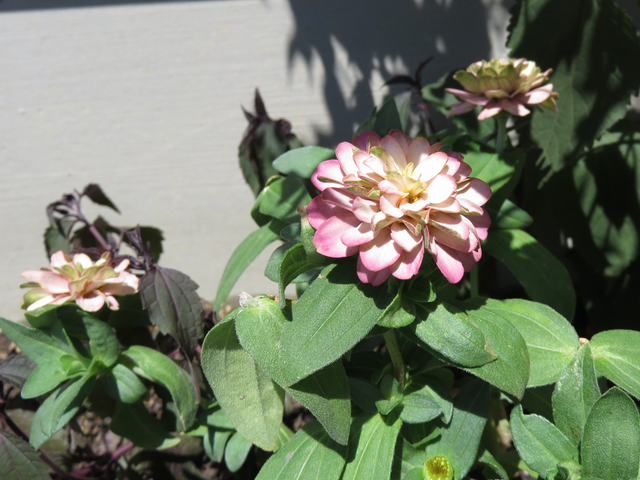 ピンクのジニアの花