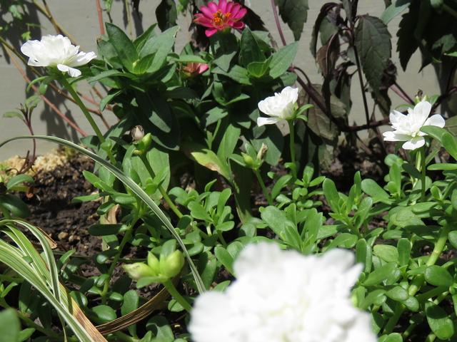 八重の白いポーチュラカの花
