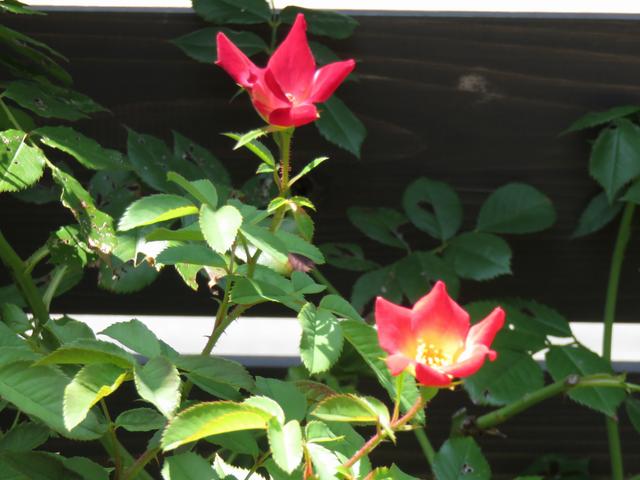 カクテルの夏の花