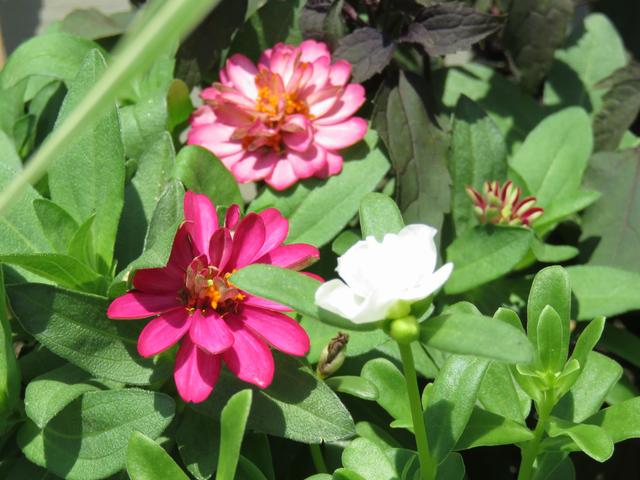 ピンクのジニアと白い八重のポーチュラカ