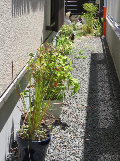 家の西側に並べた植木鉢