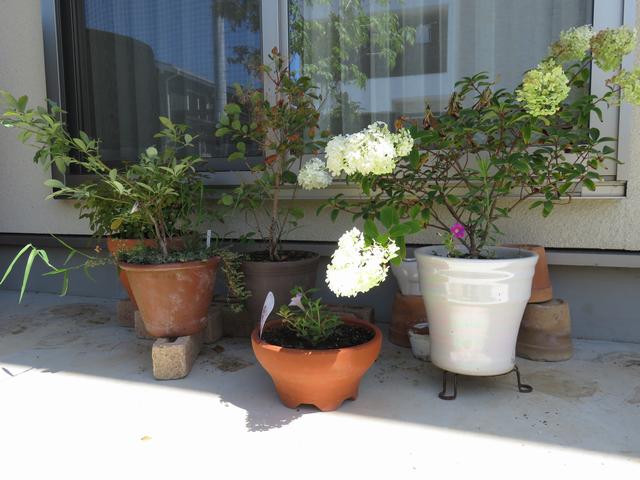 長期不在でも枯れなかった鉢植えの画像