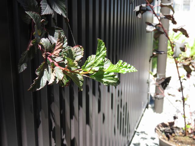 ディアボロの鉢植え
