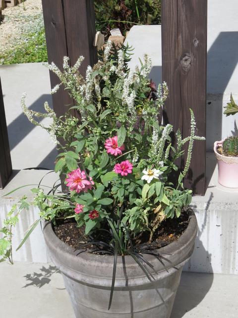残暑の寄せ植え ベロニカシャーロッテ ジニア コクリュウ
