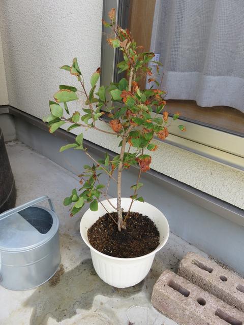 根腐れや水切れで葉っぱが枯れているスモークツリーの鉢植え