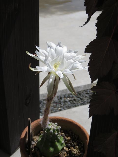 白い花を咲かせたサボテンの鉢植え