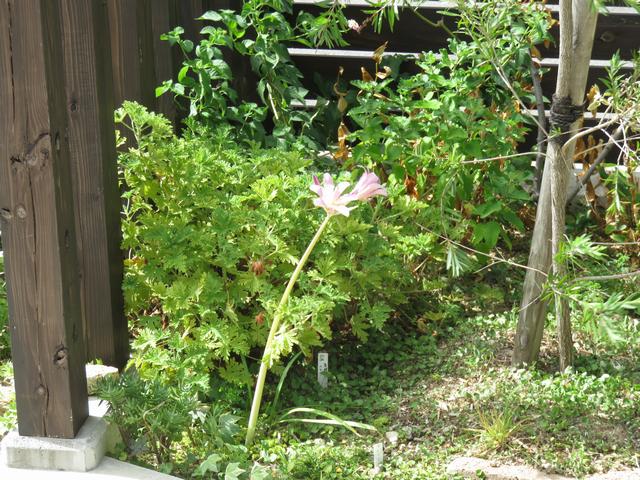 台風の風にあおられている夏水仙の花