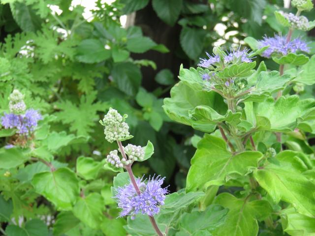 ダンギクの青い花 段菊