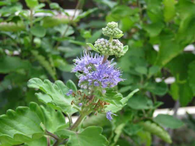 ダンギクの青い花 段菊アップ