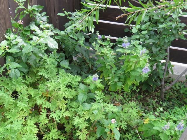 庭の片隅に咲いているダンギクとランタナ